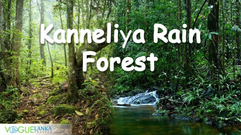 Kanneliya, Kan eliya, Rain forests, Kanneliya Raint forest Sri lanka, sun rise, most scenic place in Sri Lanka, Best places to visit in Sri Lanka, Tourist attraction in Sri Lanka, Vogue Lanka Travels - Travel Agent in Sri Lanka - Tour Operator in Sri Lanka - Destination Manager in Sri Lanka